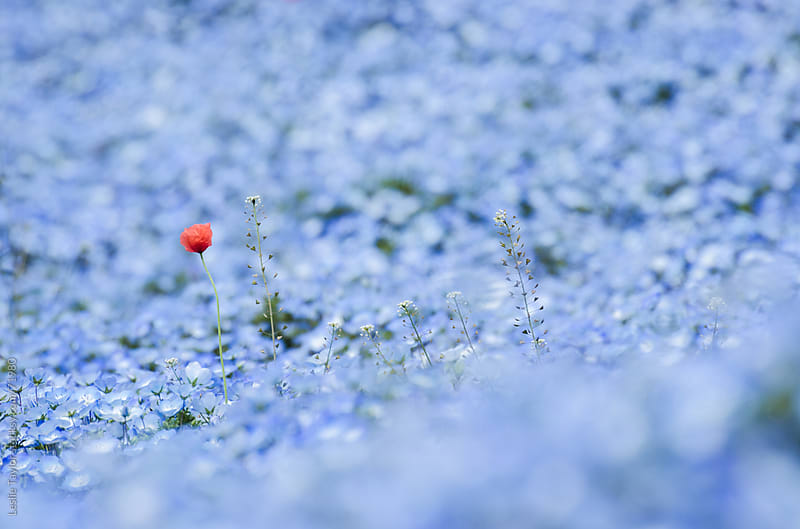 A Red Poppy Flower in Blue Nemophilia by Leslie Taylor for Stocksy United