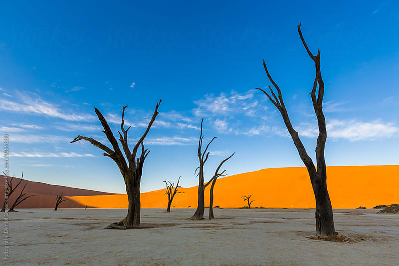 Camel Thorn Trees at Deadvlei during sunset over dunes, Namibia, Africa by Fotografie Daniel Osterkamp for Stocksy United
