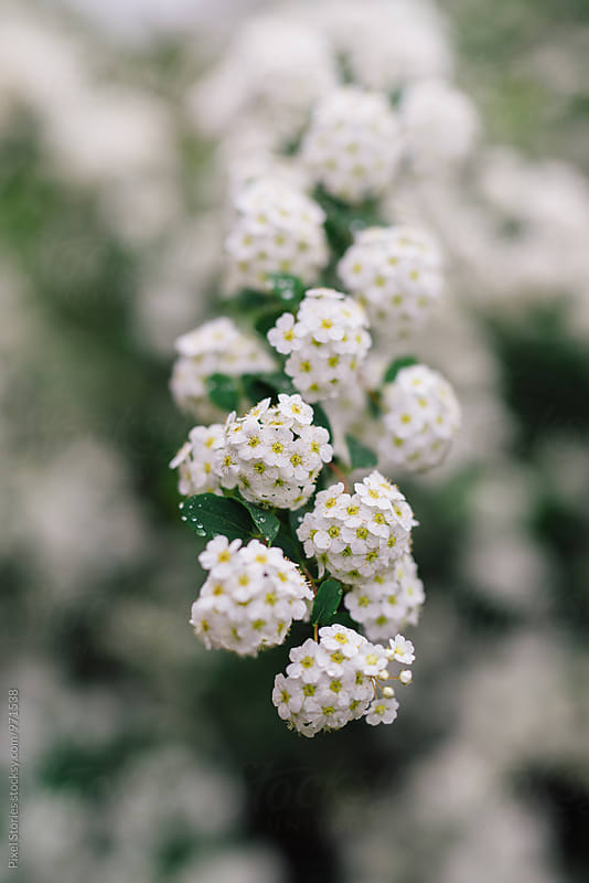 Blooming Spirea branch by Pixel Stories for Stocksy United