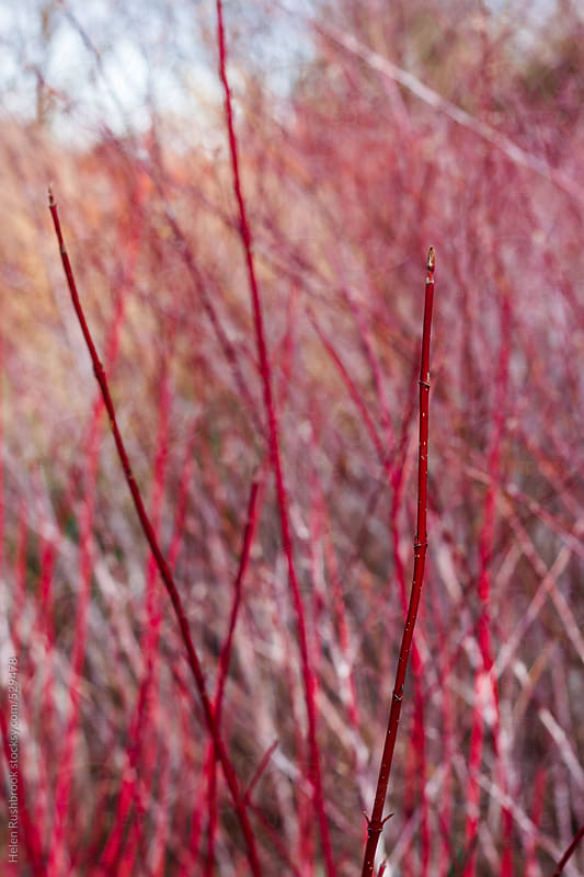 Red Dogwood stems by Helen Rushbrook for Stocksy United