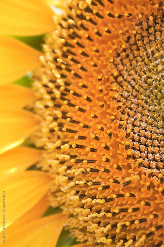 Macro sunflower by ACALU Studio for Stocksy United
