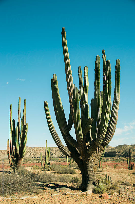 A giant cactus  by Gary Parker for Stocksy United