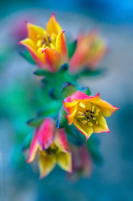 Echeveria macro by alan shapiro for Stocksy United