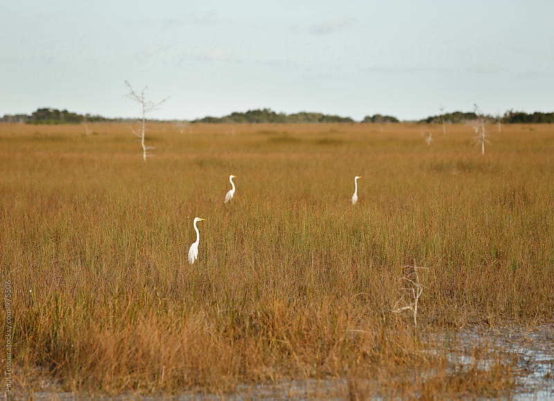 Great Egrets by Paul Tessier for Stocksy United