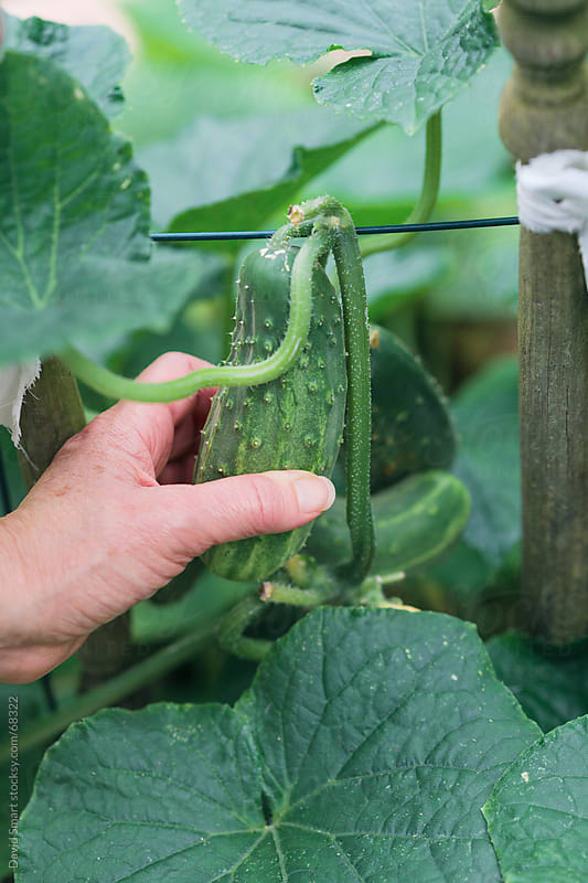 Harvesting cucumbers from backyard garden by David Smart for Stocksy United