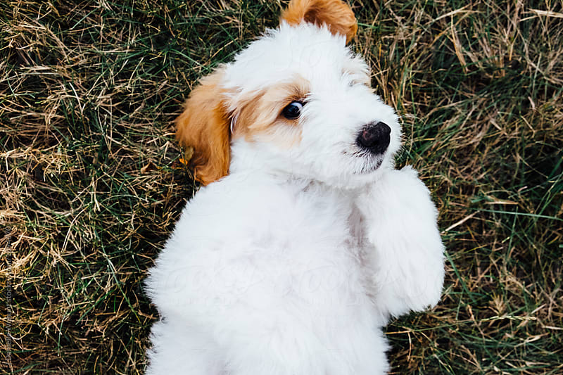 A white and brown golden doodle puppy lying in grass on its back  by J Danielle Wehunt for Stocksy United