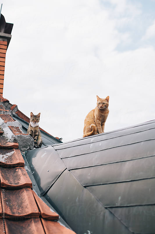 Two cats sitting on a roof by VeaVea for Stocksy United