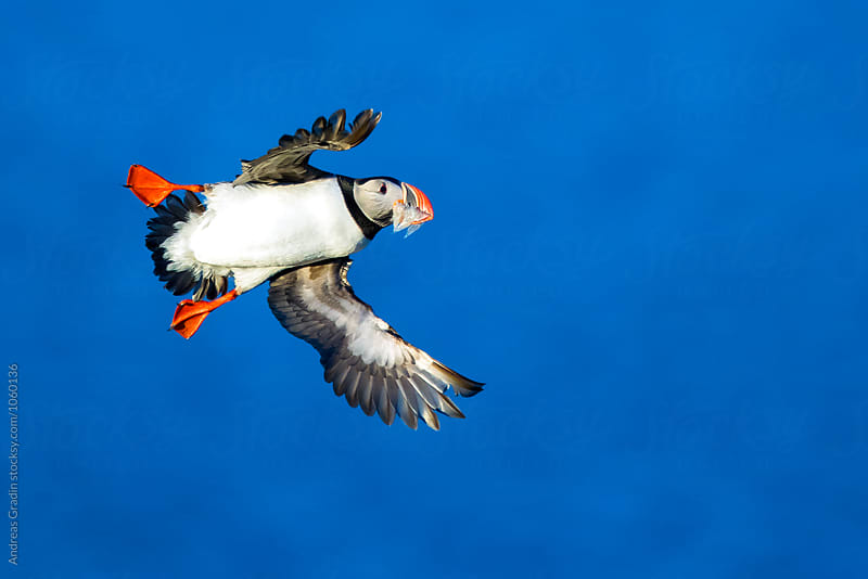 puffin bird flight by Andreas Gradin for Stocksy United