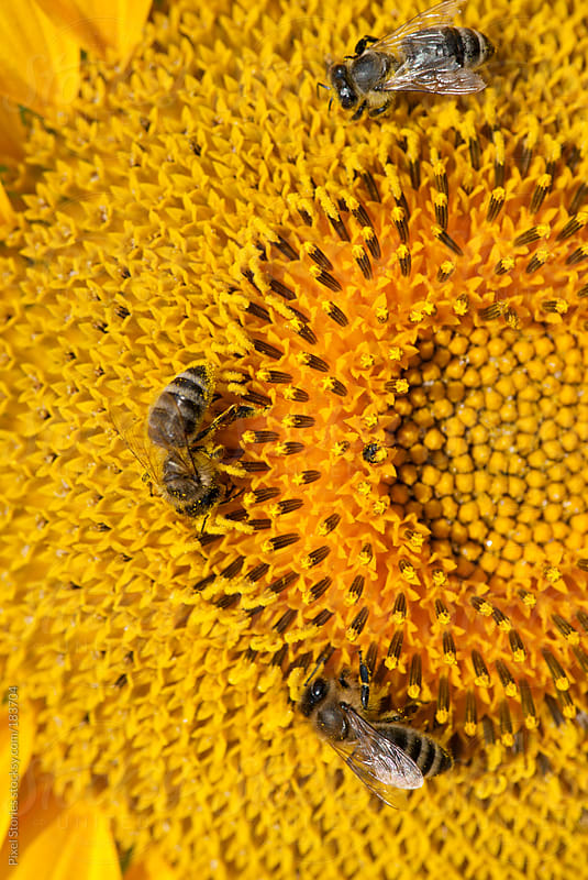 Bees on sunflower by Pixel Stories for Stocksy United