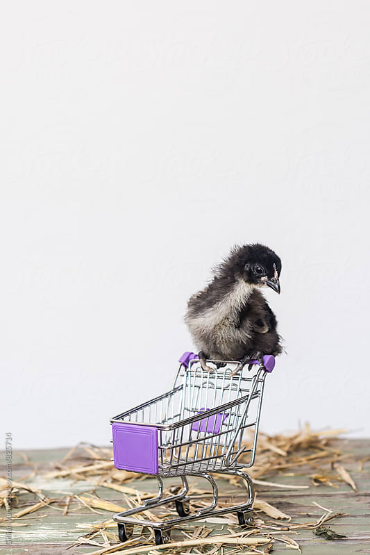 baby chick with empty shopping trolley by Gillian Vann for Stocksy United