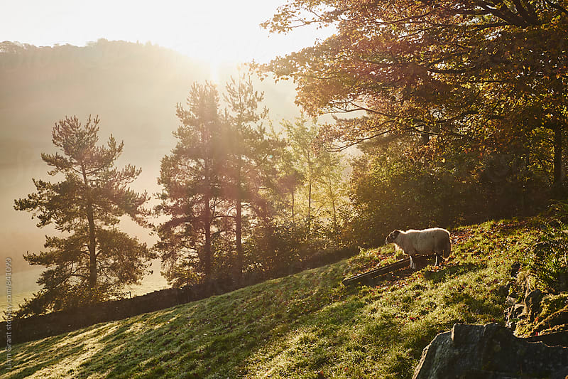 Sheep in fog at sunrise. Troutbeck, Cumbria, UK. by Liam Grant for Stocksy United