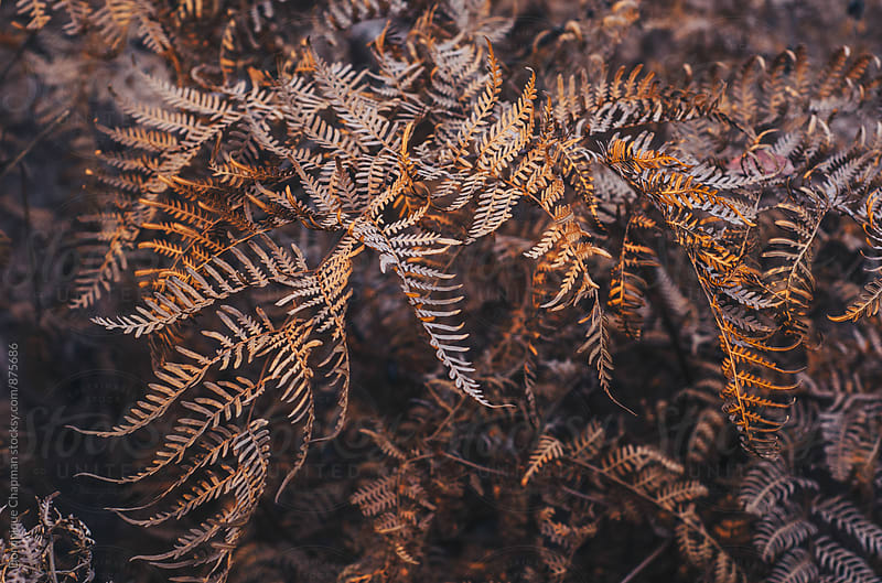 Brown ferns during sunset by Dominique Chapman for Stocksy United