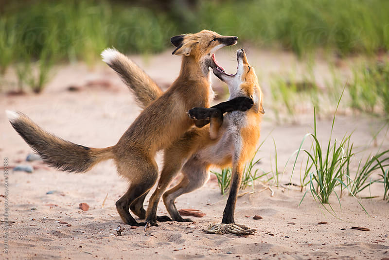 Pair of young wild foxes fighting and playing in natural environment by Matthew Spaulding for Stocksy United