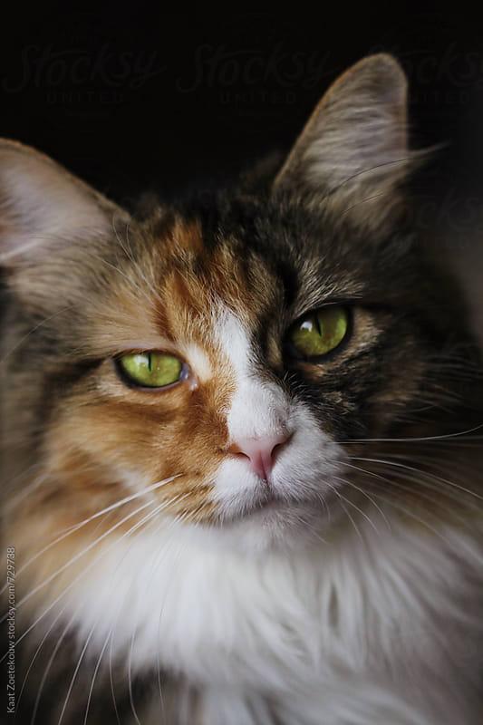 Norwegian Forest Cat, glaring by Kaat Zoetekouw for Stocksy United