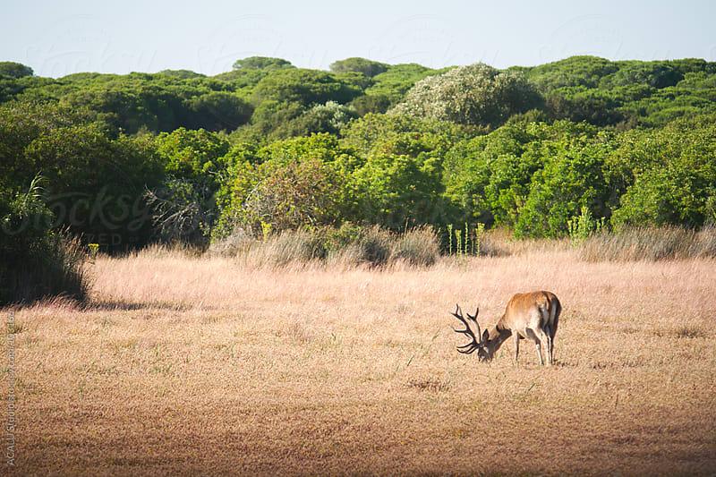 Brown Deer grazing by ACALU Studio for Stocksy United