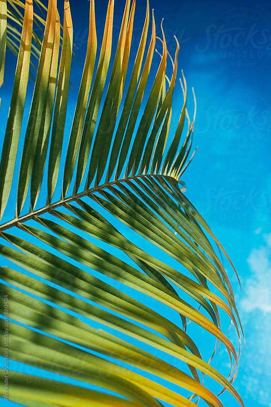 Bright Green Palm Leaf Against Blue Backround  by Alexander Grabchilev for Stocksy United