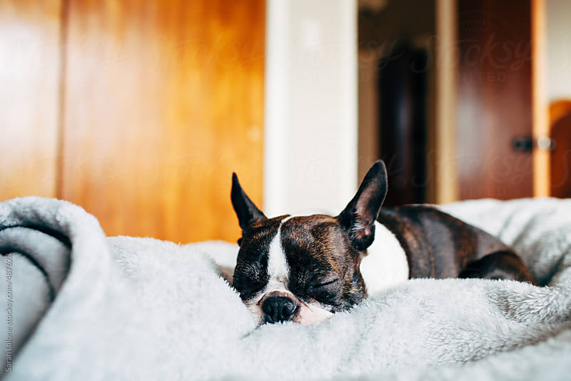 a little dog laying cozy in a blanket by Sarah Lalone for Stocksy United