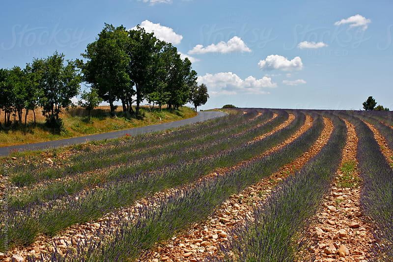 Lavender field by Bratislav Nadezdic for Stocksy United