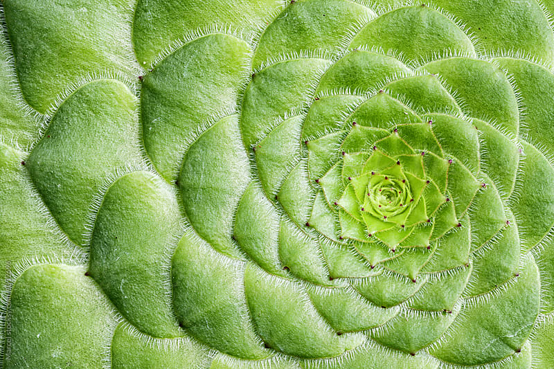 aeonium tabuliforme plant from above by Marcel for Stocksy United