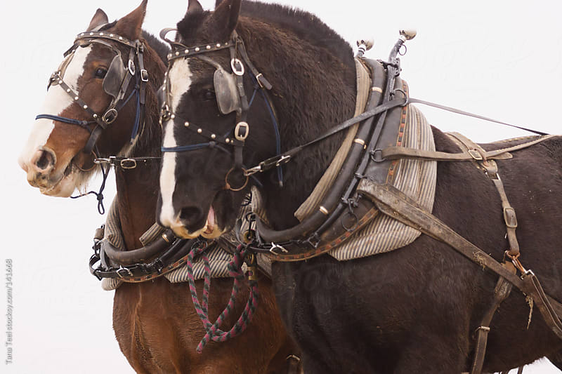 A pair of draft horses in harness by Tana Teel for Stocksy United
