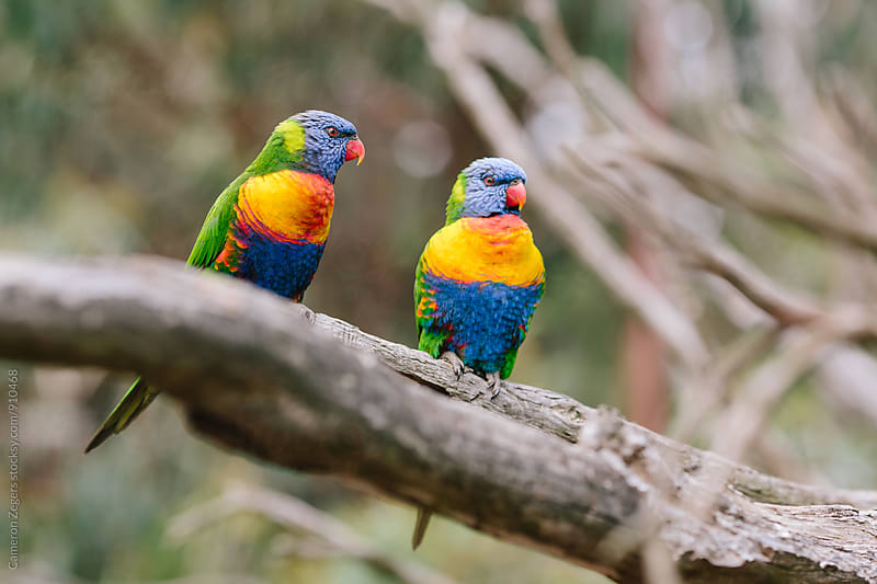 Pair of Rainbow Lorikeet Parrots by Cameron Zegers for Stocksy United