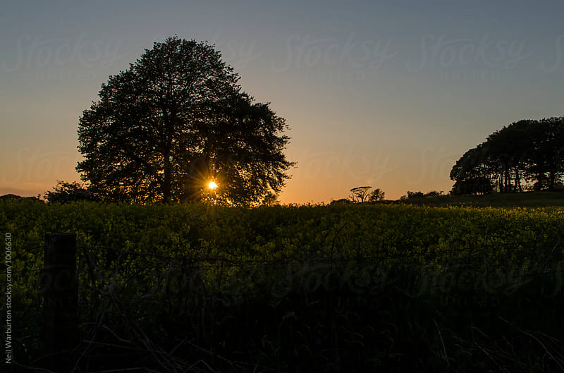 Sunset through an Oak tree over a flower filled field by Neil Warburton for Stocksy United