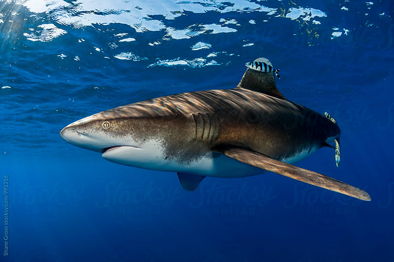 Pregnant Oceanic Whitetip Shark by Shane Gross for Stocksy United