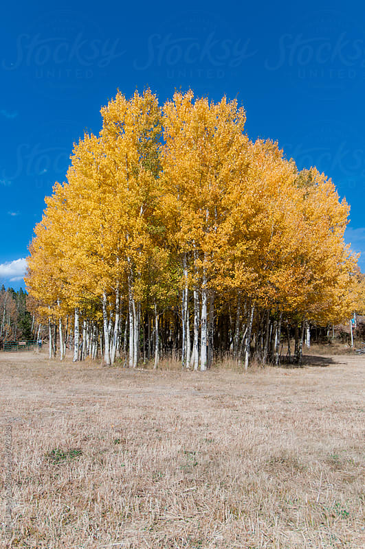 Group of Aspen Trees in medow. Leaves turning golden for fall by Caine Delacy for Stocksy United