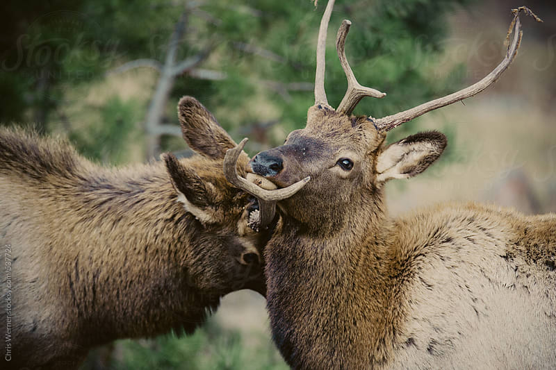 Two adult elk by Chris Werner for Stocksy United