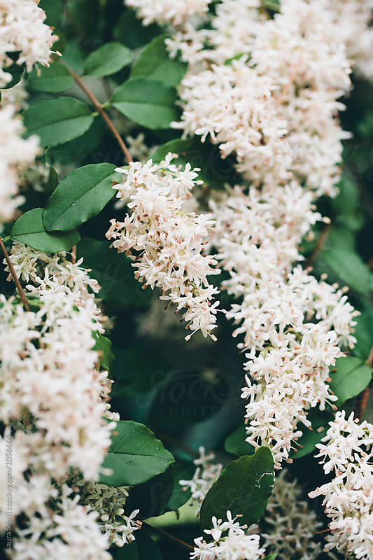 Common privet shrub in bloom, close up by Laura Stolfi for Stocksy United