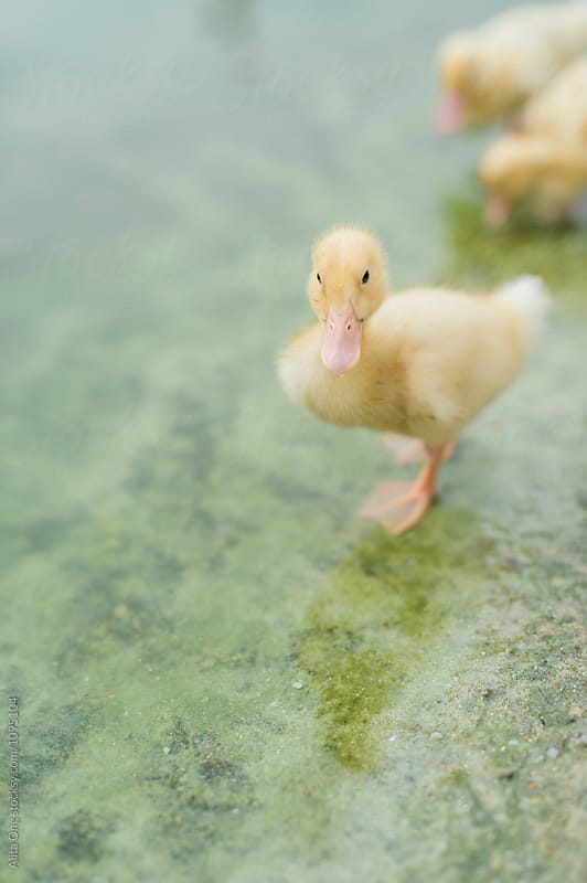 Little duckling by Alita Ong for Stocksy United