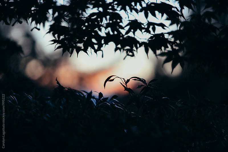 Silhouetted Japanese maple tree leaves at dusk by Carolyn Lagattuta for Stocksy United