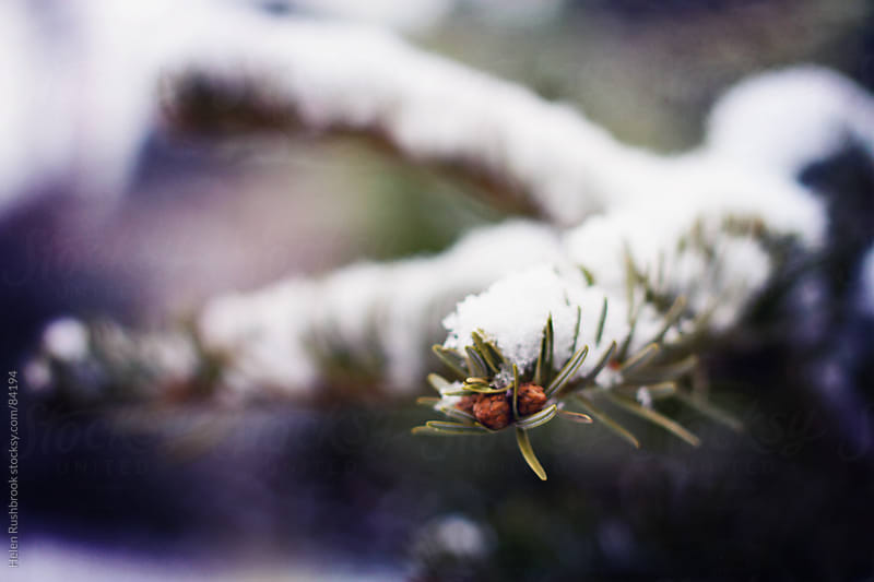 The snow-covered branch of a fir tree by Helen Rushbrook for Stocksy United