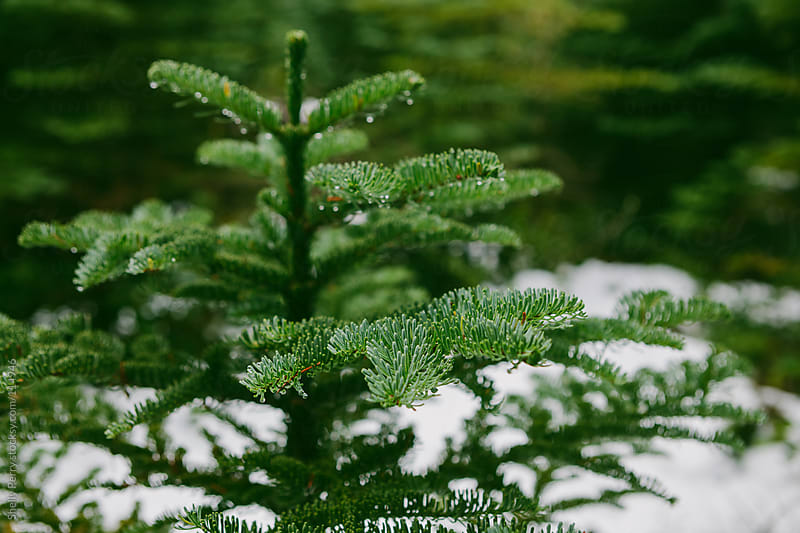 Christmas Tree in Nature by Shelly Perry for Stocksy United