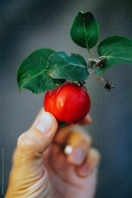 An apple by Artem Zhushman for Stocksy United