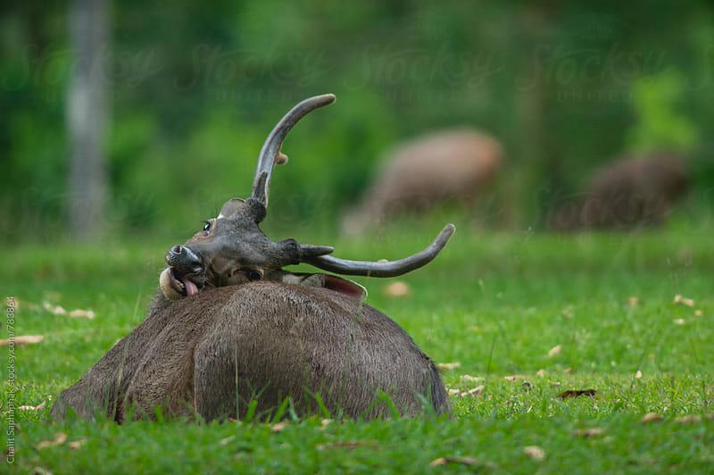 Sambar Deer by Chalit Saphaphak for Stocksy United