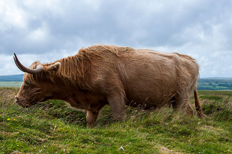 Highland cow in field by Mike Marlowe for Stocksy United