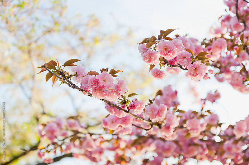 Full Bloom Cherry Blossoms by Cameron Whitman for Stocksy United