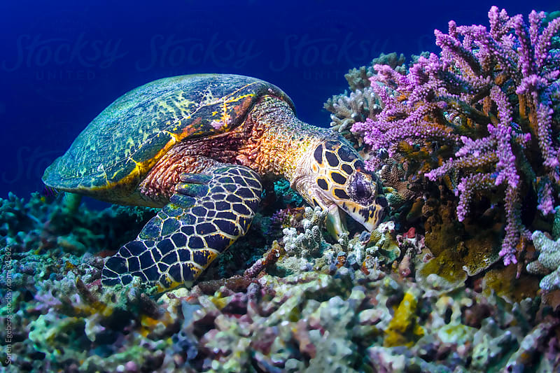 Sea turtle eating coral underwater on a reef by Soren Egeberg for Stocksy United