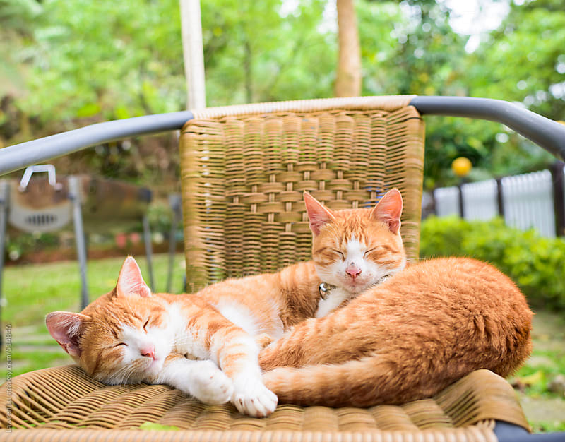 Yellow cats sleeping on wicker chair by Lawren Lu for Stocksy United