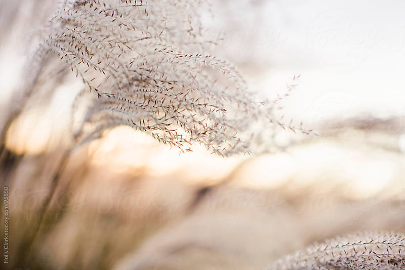 Dried Autumn grasses sway in breeze at twilight. by Holly Clark for Stocksy United