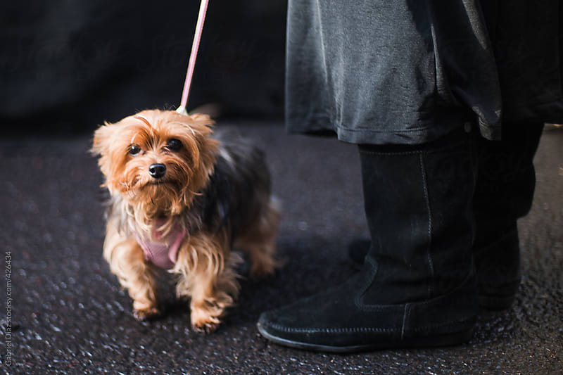 Yorkshire terrier looking at the camera by Gabriel Diaz for Stocksy United