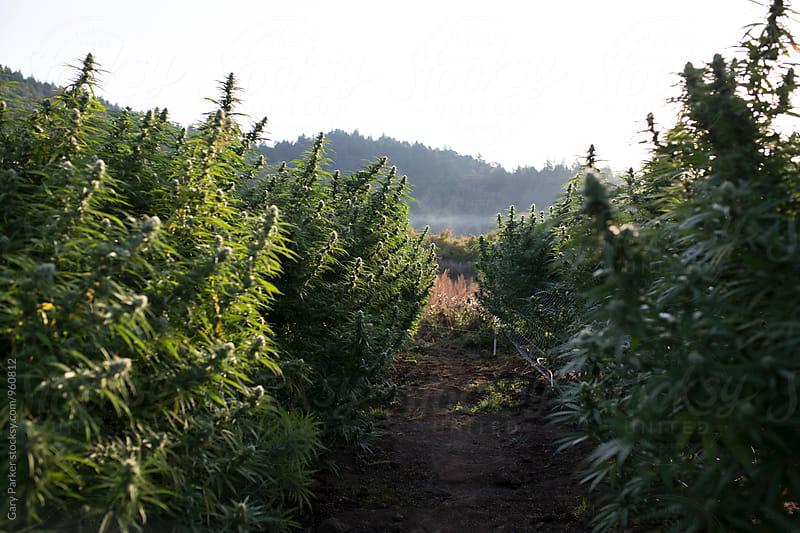 Medicinal Marijuana by Gary Parker for Stocksy United
