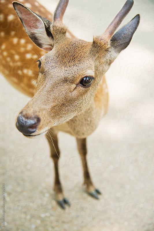 deer in Nara  by Helen Yin for Stocksy United