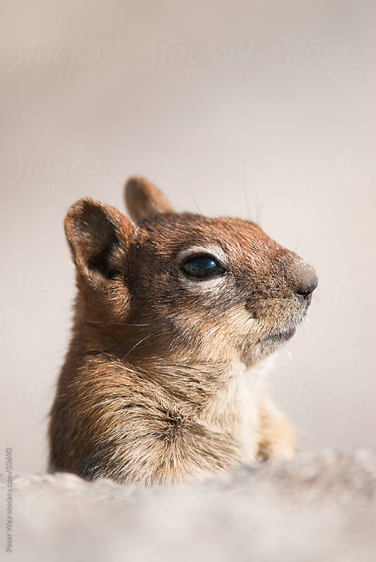 portrait of cute chipmunk in yosemite national park, california, by Peter Wey for Stocksy United