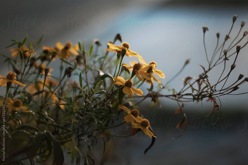 Spindly branches with yellow flowers reach out into the late afternoon light by Rachel Bellinsky for Stocksy United