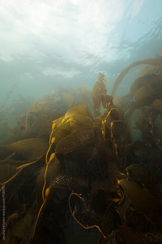 Kelp forest underwater in Strait of Magellan in Chilean Patagonia by Jovana Milanko for Stocksy United