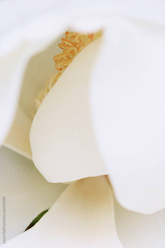 Close-up of Magnolia grandflora white petals and pistils by Laura Stolfi for Stocksy United