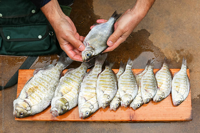 Fresh surf perch laid on a board for washing by Carolyn Lagattuta for Stocksy United