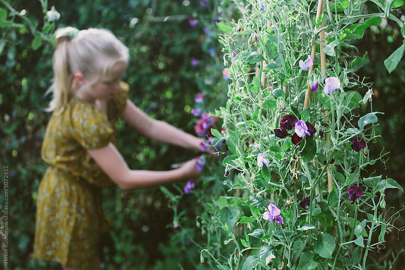 Sweet peas growing in a garden, and in the background, a little girl picking them. by Helen Rushbrook for Stocksy United
